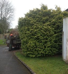 Large Leylandii tree removal