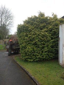 Large Leylandii tree removal